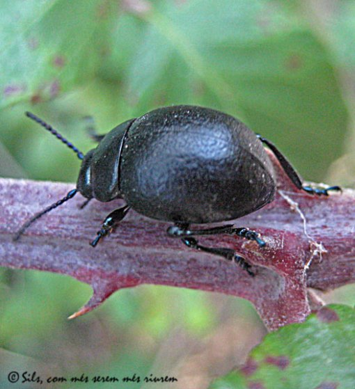 escarabatnegre