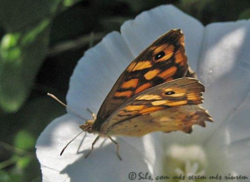 papallonaestanys